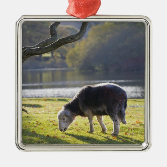 Herdwick sheep at Friars Crag, Derwentwater, Christmas Ornament