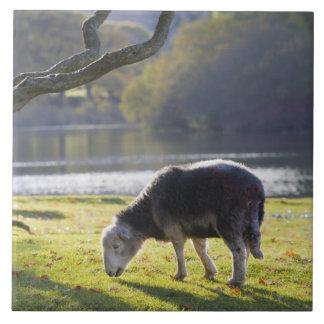 Herdwick sheep at Friars Crag, Derwentwater, Large Square Tile