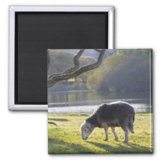 Herdwick sheep at Friars Crag, Derwentwater, Magnet