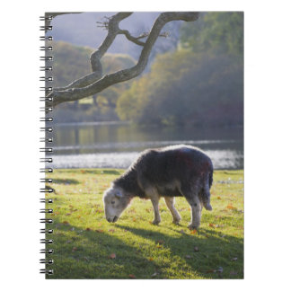 Herdwick sheep at Friars Crag, Derwentwater, Notebooks
