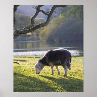 Herdwick sheep at Friars Crag, Derwentwater, Poster