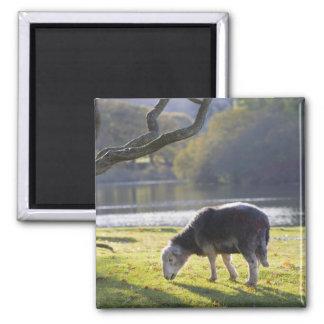 Herdwick sheep at Friars Crag, Derwentwater, Square Magnet