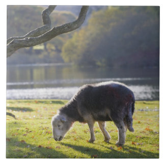 Herdwick sheep at Friars Crag, Derwentwater, Tile