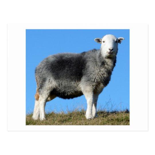 Herdwick Sheep Postcard