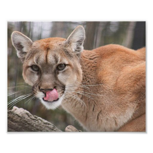 Here Kitty Kitty - Cougar Close Up Photo Poster