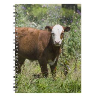 Hereford calf (Bos taurus) in prairie pasture Notebooks