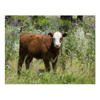 Hereford calf (Bos taurus) in prairie pasture Postcard