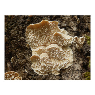 Hericium cirrhatum Mushroom Poster