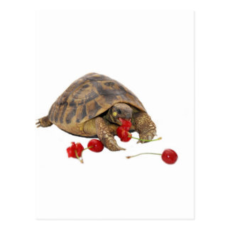 Hermann Tortoise and Strawberries Postcard
