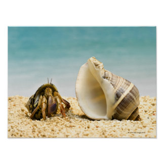 Hermit crab looking at larger shell poster