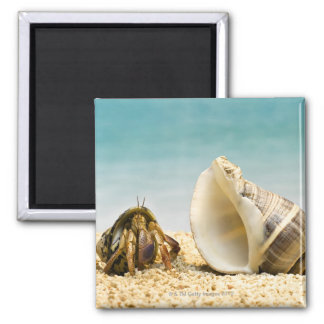 Hermit crab looking at larger shell square magnet