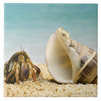 Hermit crab looking at larger shell tile