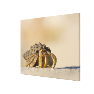 Hermit Crab on white sand beach of Isla Carmen, Stretched Canvas Print