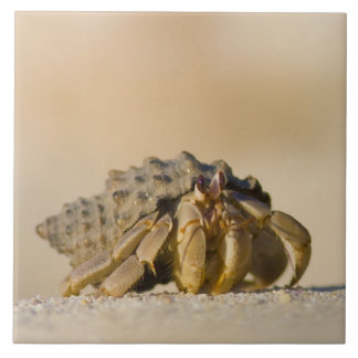 Hermit Crab on white sand beach of Isla Carmen, Tile