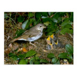 Hermit Thrush with young Postcard