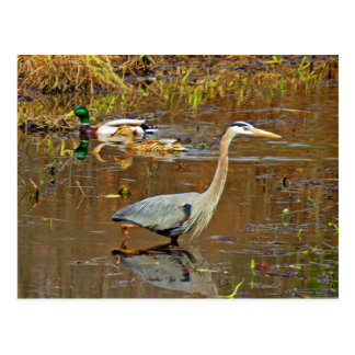 Heron and Mallards Postcard