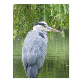 Heron close up Postcard