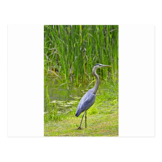 Heron Walk Postcard