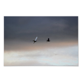 Herons A Fly By Poster