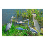 Herons of Everglades National Park, Florida Poster