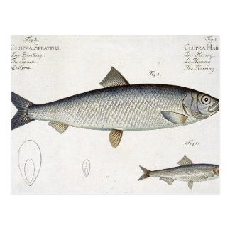 Herring (Clupea Harengus) (Fig. 1) and Sprat (Clup Postcard
