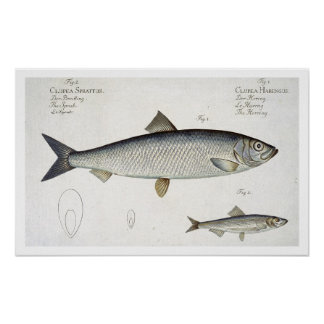 Herring (Clupea Harengus) (Fig. 1) and Sprat (Clup Poster