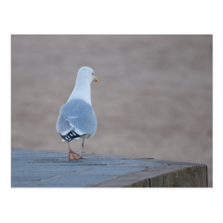 Herring Gull Postcard