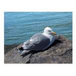 Herring Gull Resting on Rock Jetty: