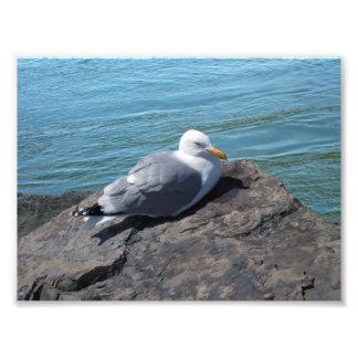 Herring Gull Resting on Rock Jetty: Photographic Print