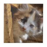 Heterochromia Calico Kitten