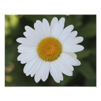 Hi def photography of a Daisy Photo Print