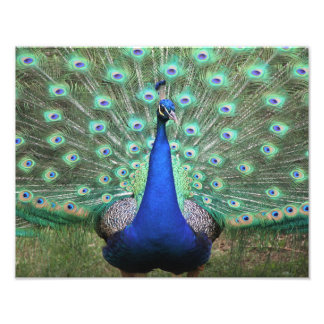 Hi-def photography of Peacock Photographic Print