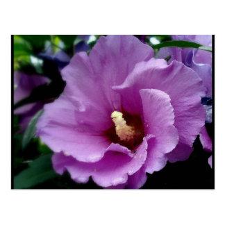 hibiscus 15 postcard