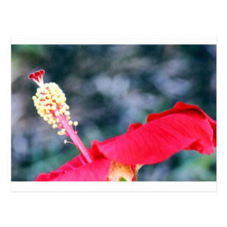 Hibiscus 4 postcard