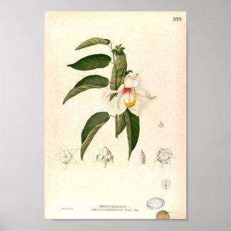 'Hibiscus campylosiphon', c. 1880 Poster