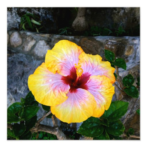 Hibiscus Color Photograph