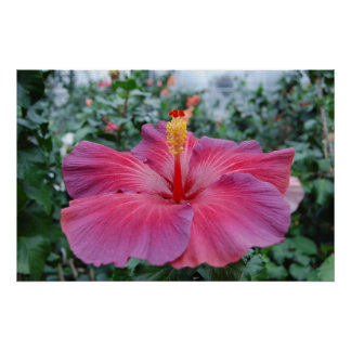 Hibiscus Flower Poster