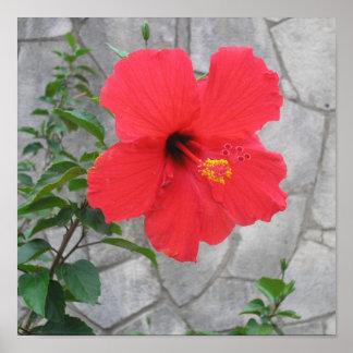 Hibiscus In Bloom Print