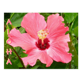 Hibiscus in Hawaii Pink Coral Color Postcard