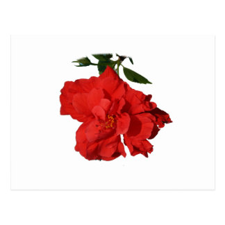 Hibiscus Red Flower Photograph Design Postcards