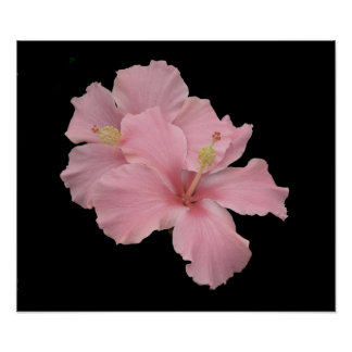Hibiscus - Soft Angel Pink Poster