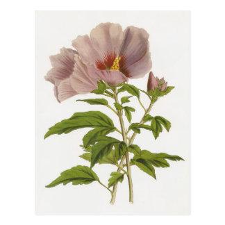 Hibiscus syriacus postcards