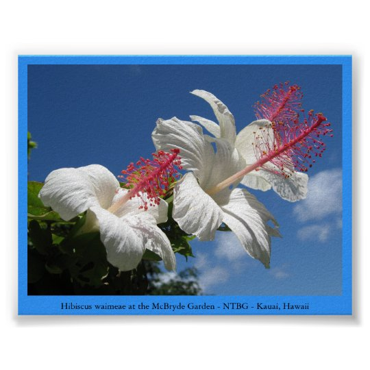 Hibiscus waimeae at McBryde Garden - NTBG - Kauai Poster
