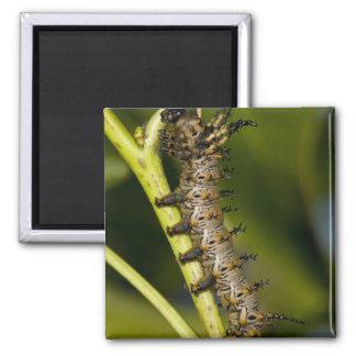 Hickory horned devil caterpillar Citheronia Fridge Magnet