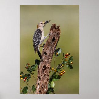 Hidalgo County, Texas. Golden-fronted Woodpecker 1 Poster