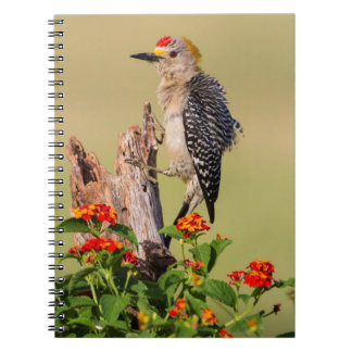 Hidalgo County, Texas. Golden-fronted Woodpecker 2 Notebook