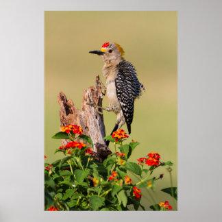 Hidalgo County, Texas. Golden-fronted Woodpecker 2 Poster