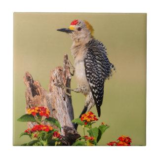 Hidalgo County, Texas. Golden-fronted Woodpecker 2 Tile