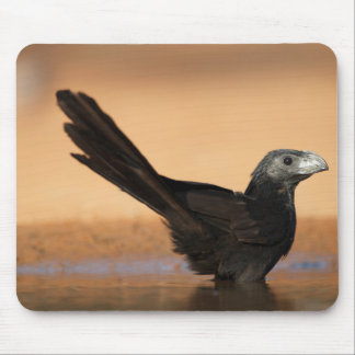 Hidalgo County, Texas. Groove-billed Mouse Mat