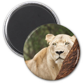 Hiding Lioness 6 Cm Round Magnet